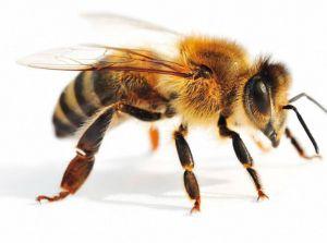 Убийцы пчел