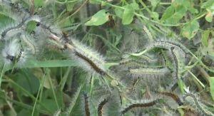 Терроризируют гусеницы