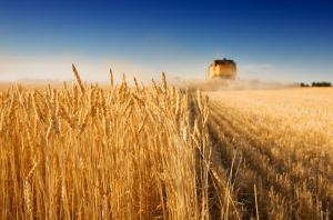 Запорожская область: Поздние зерновые не подвели