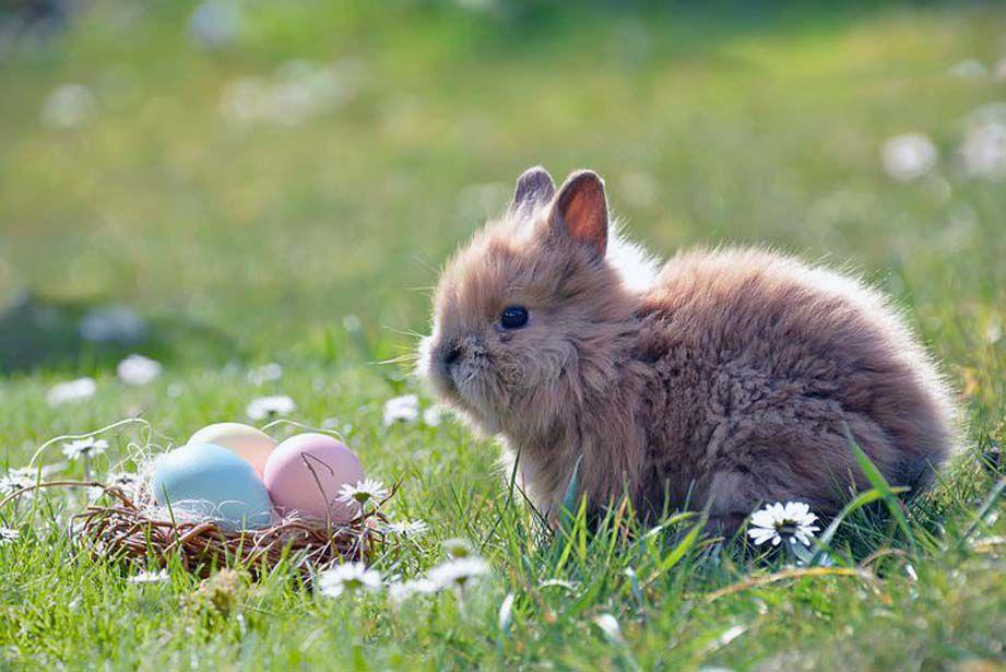 Чому яйця приносить Великодній заєць?