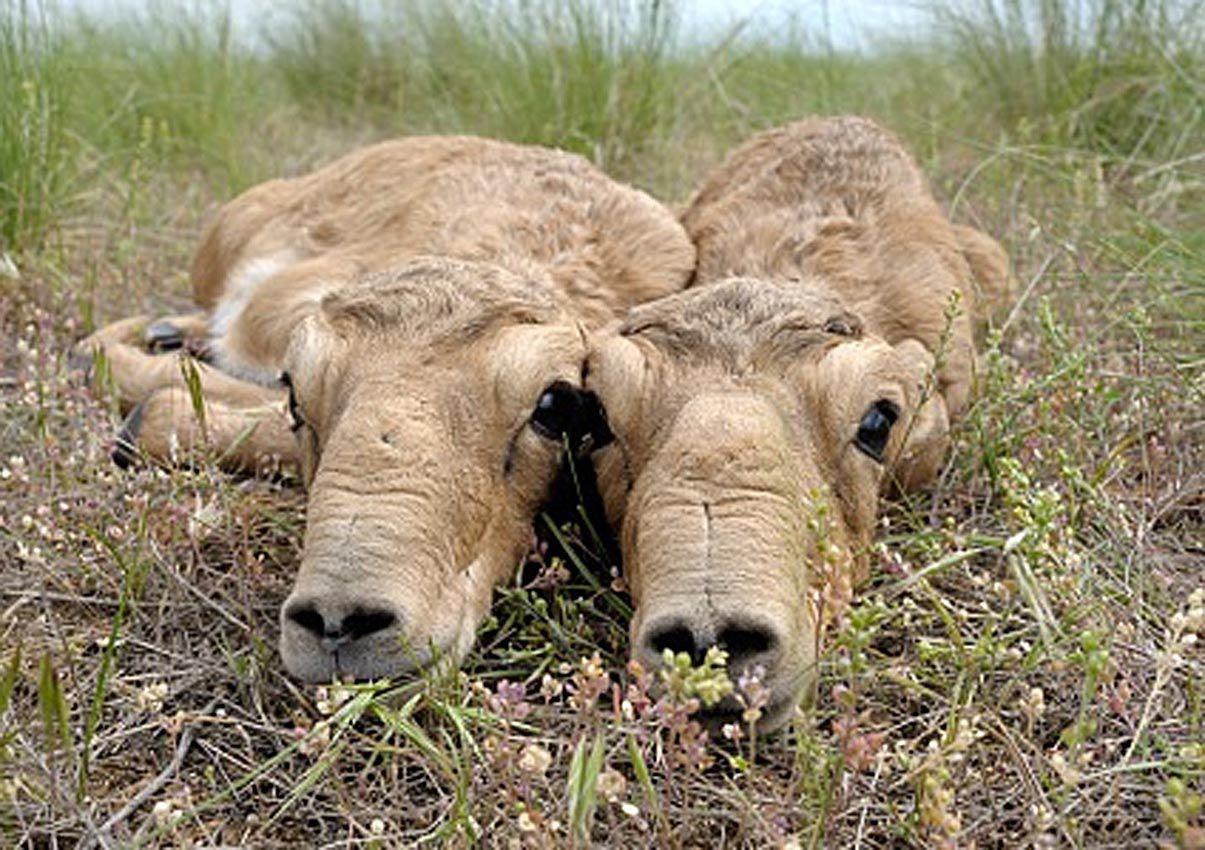 «Ясла» для антилоп