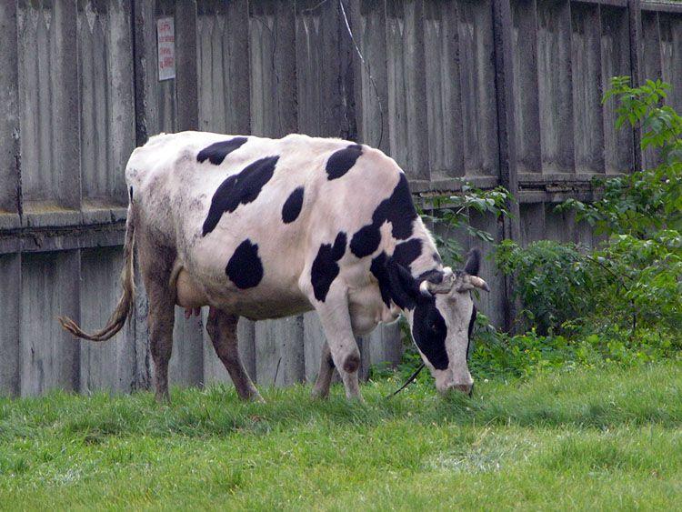 Подкормка дотациями коров не спасает