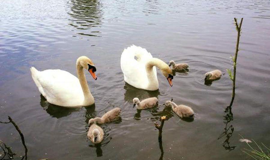 В Ужгороді дві пари лебедів вивели пташенят