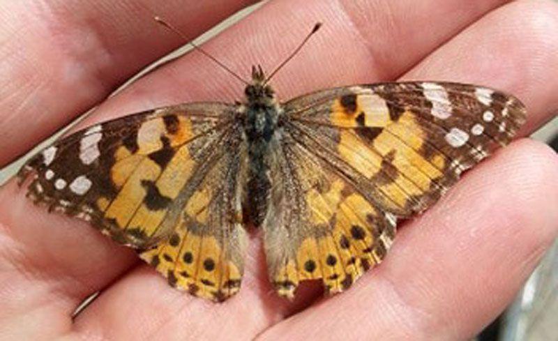 Гарного метелика люди зробили шкідником