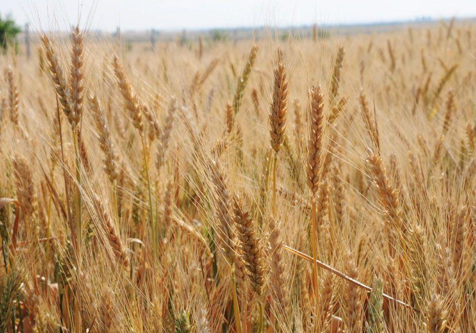 Результат диктує озима пшениця