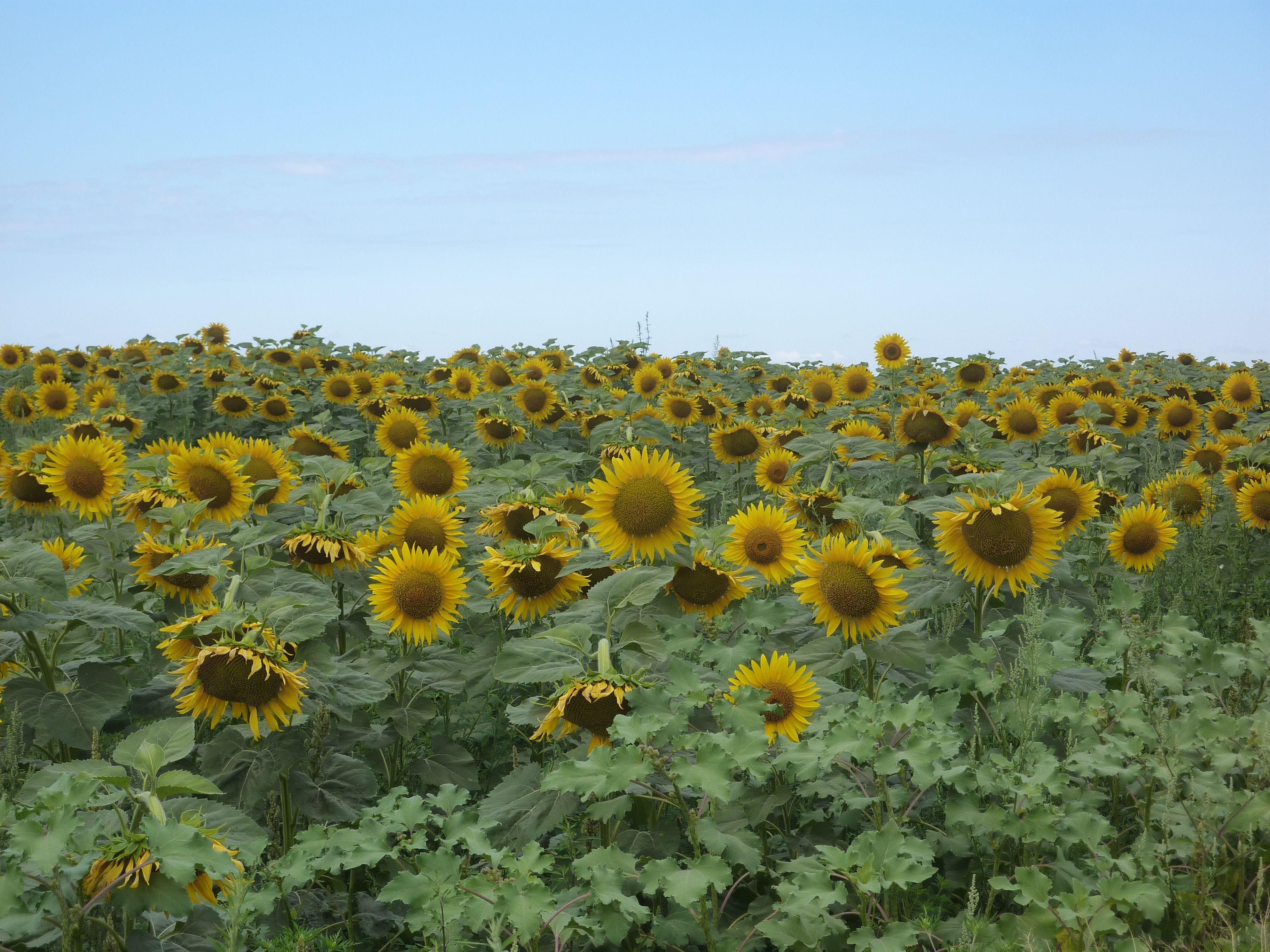 На Херсонщині соняшником «вдарили» по сої