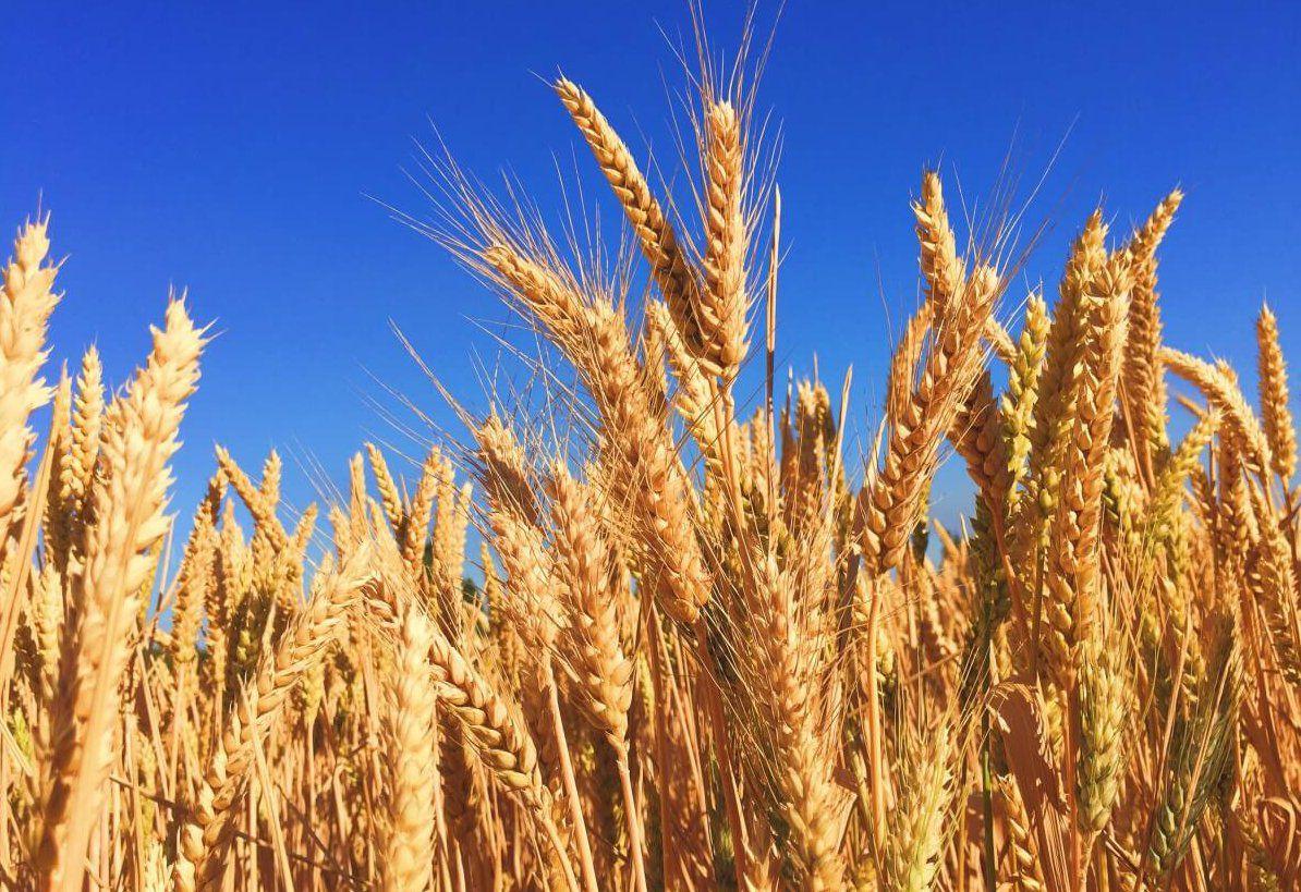 Ячмінь успішно конкурує з пшеницею на Хмельниччині