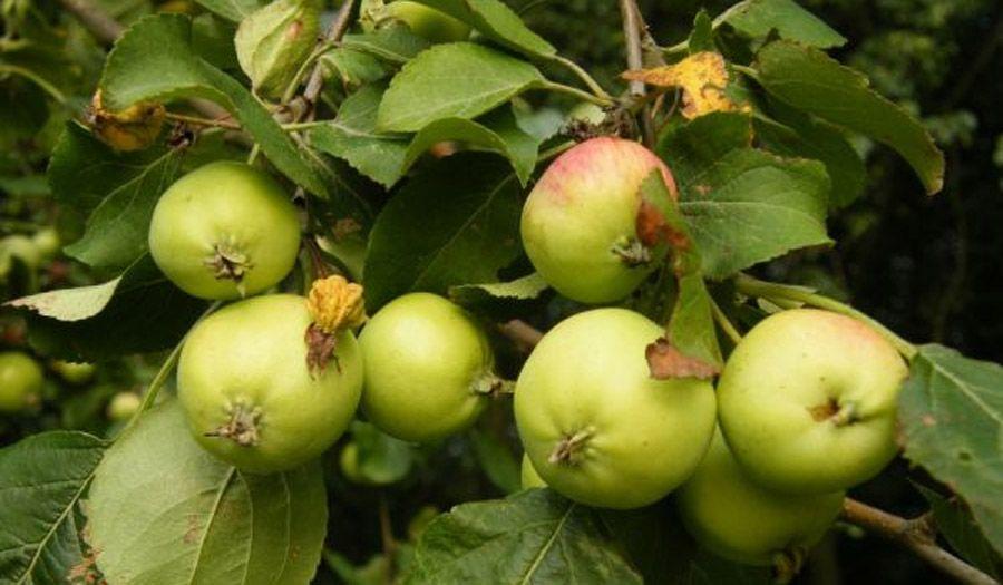 Вишнево-яблуневий рай залишився у піснях