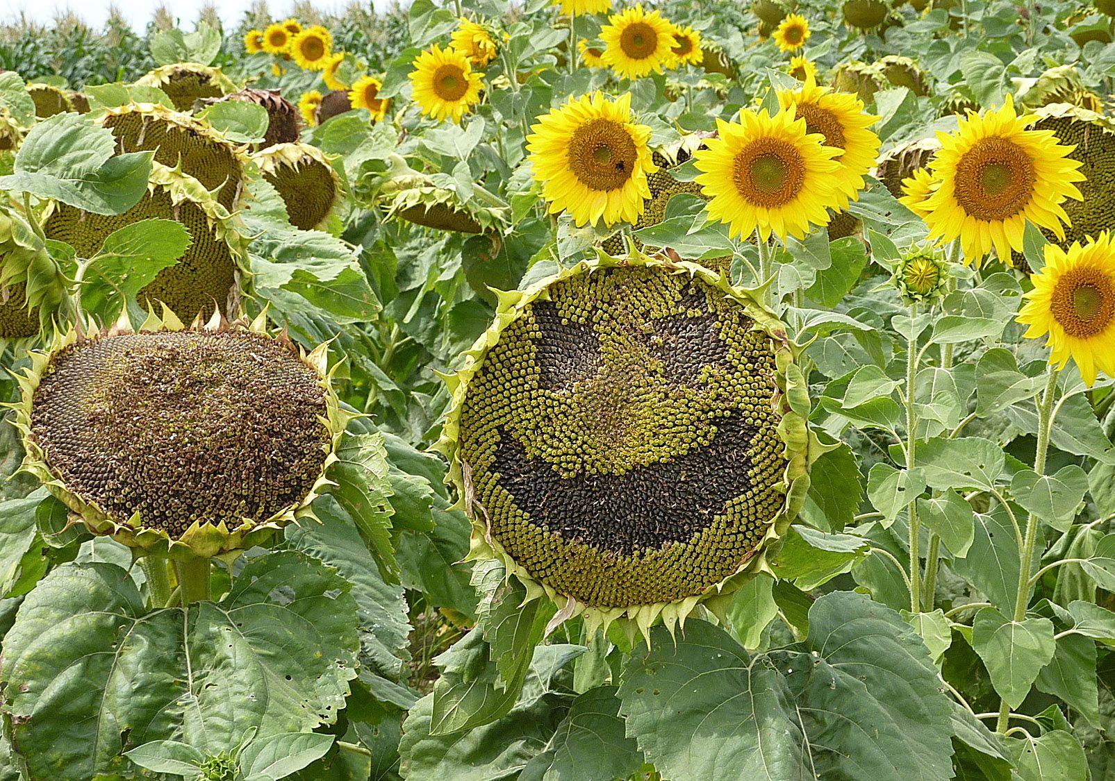 Сонячна квітка з пшеницею місце на токах не поділять