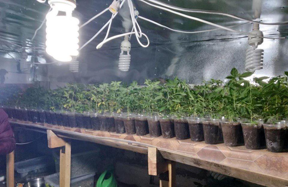 Мешканець Борзнянського району вирощував коноплі та галюциногенні гриби
