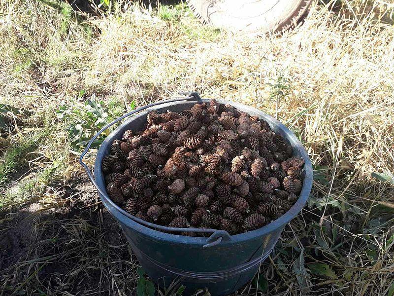 З тонни шишок отримують майже десять кілограмів насіння