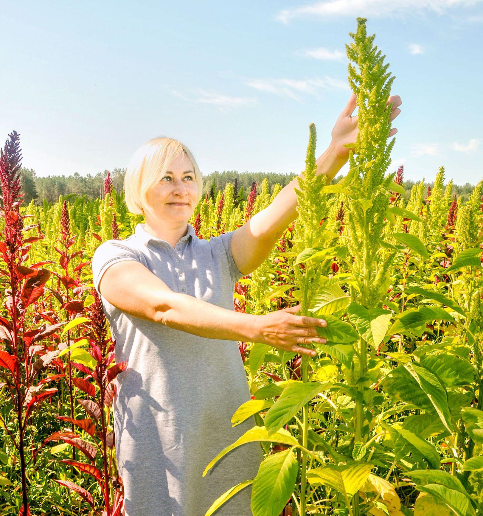 На Полесье выращивают амарант