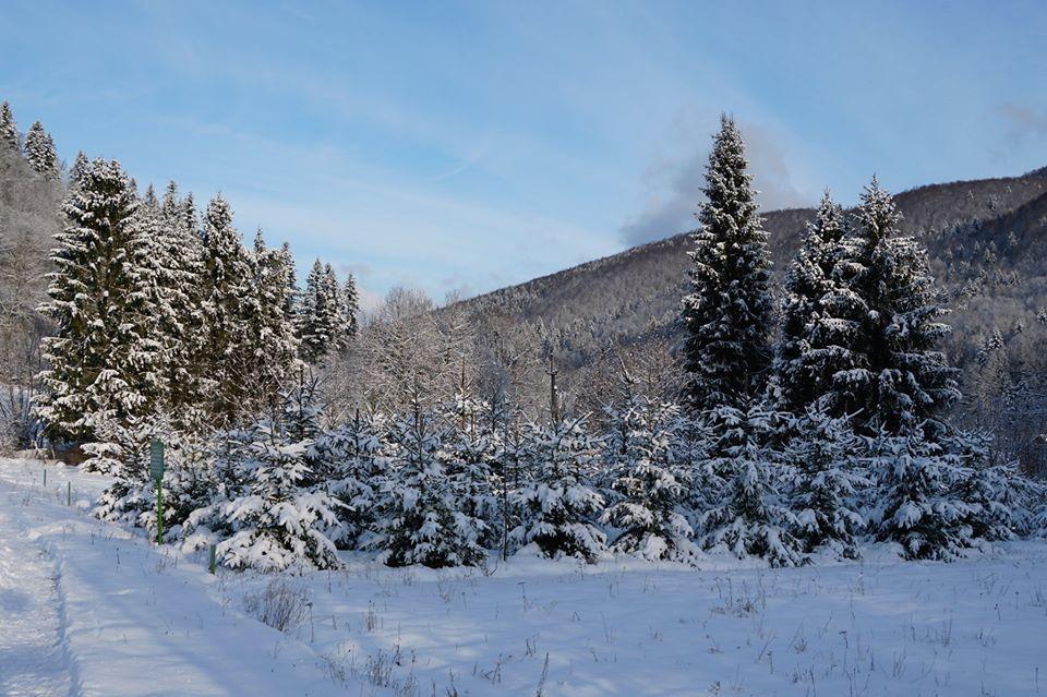 Закарпаття: І «новорічні плантації» знову зазеленіють