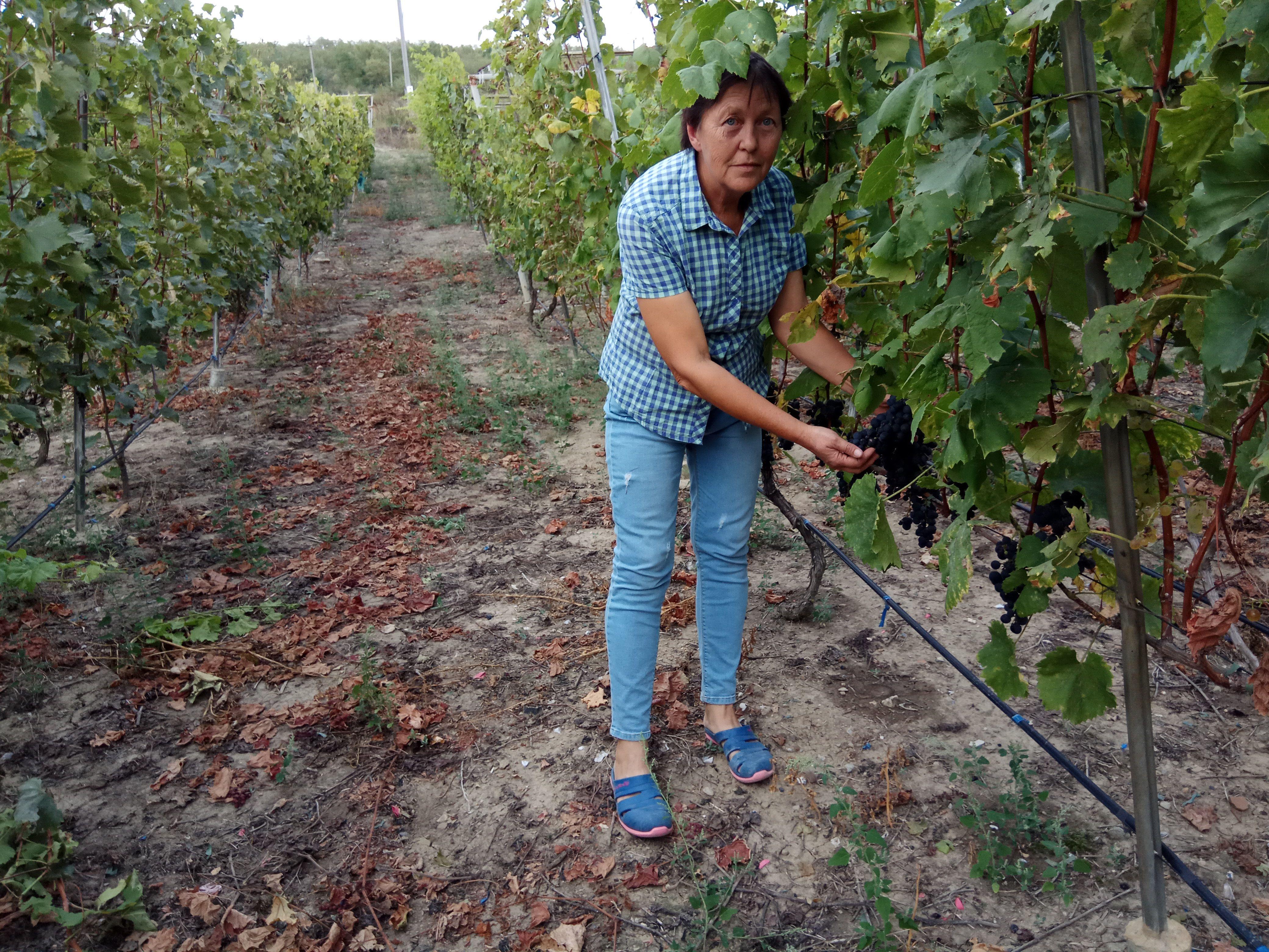 Виноградная лоза приспосабливается даже  к неблагоприятным условиям