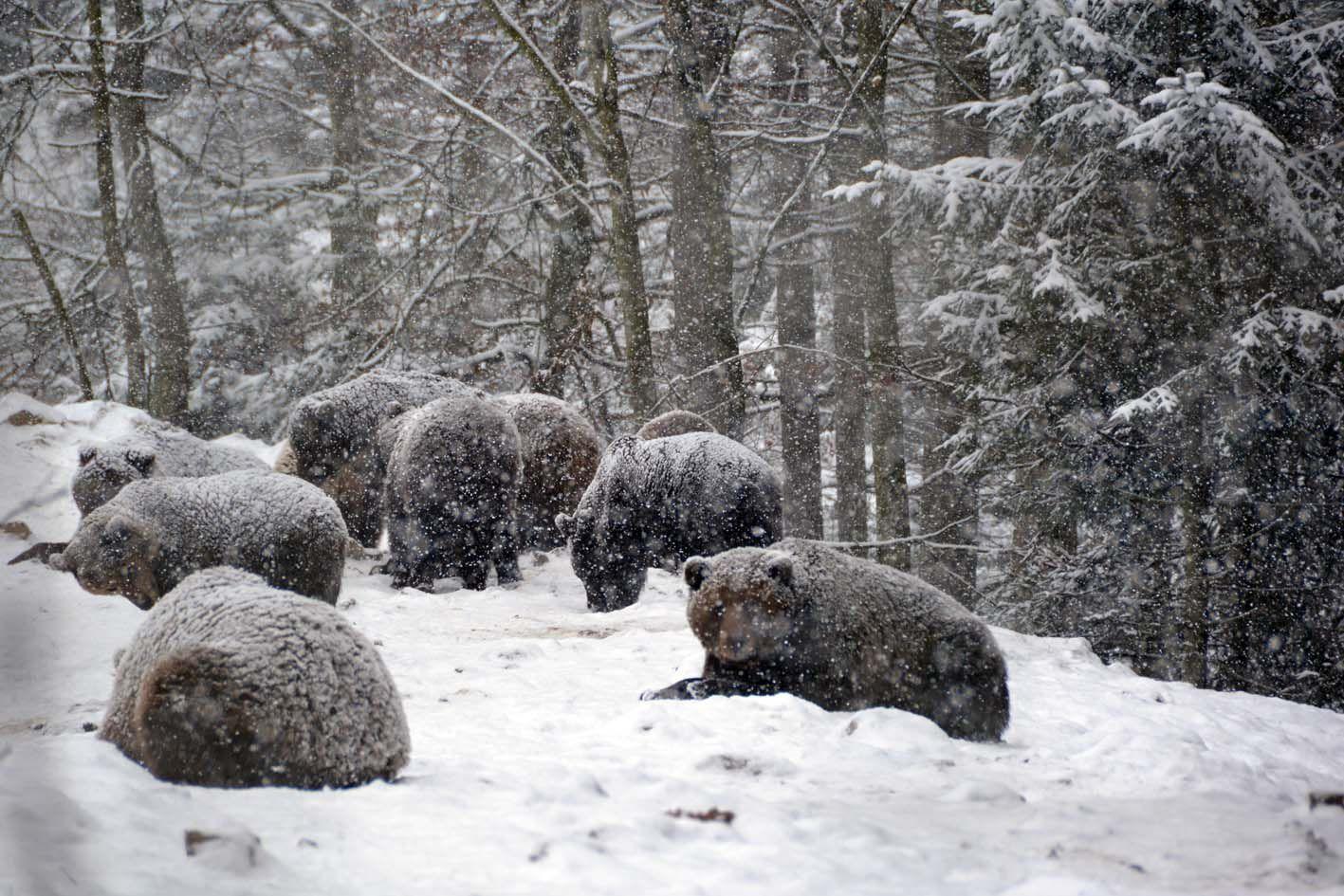 На Закарпатье из-за теплой зимы не все медведи впадают в спячку