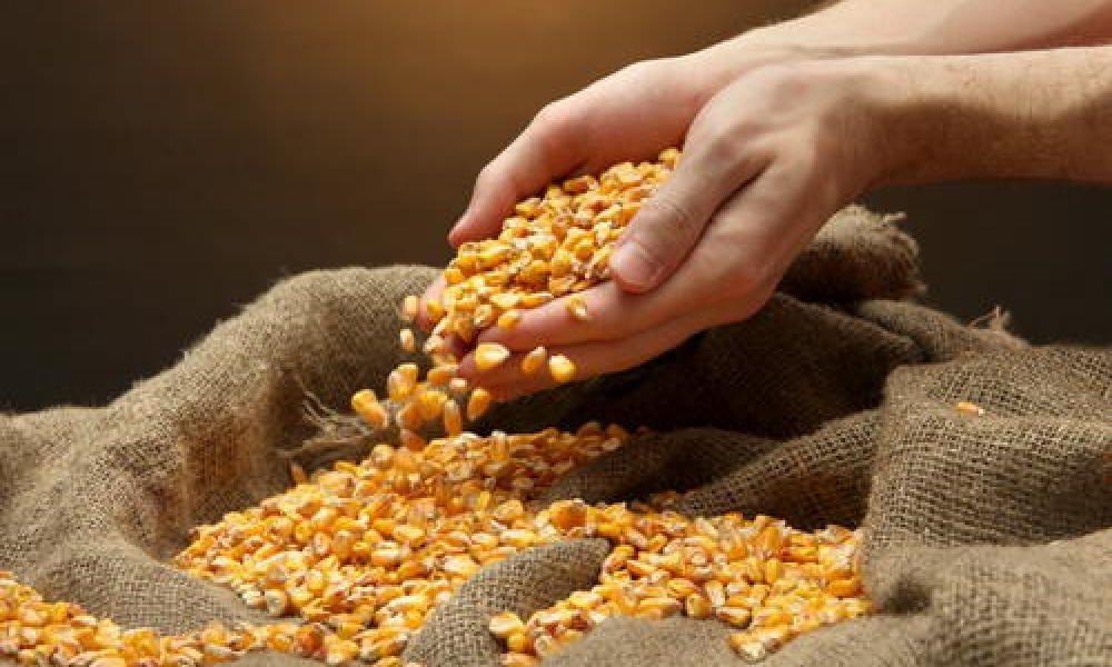Мінекономрозвитку зняло обмеження на експорт кукурудзи