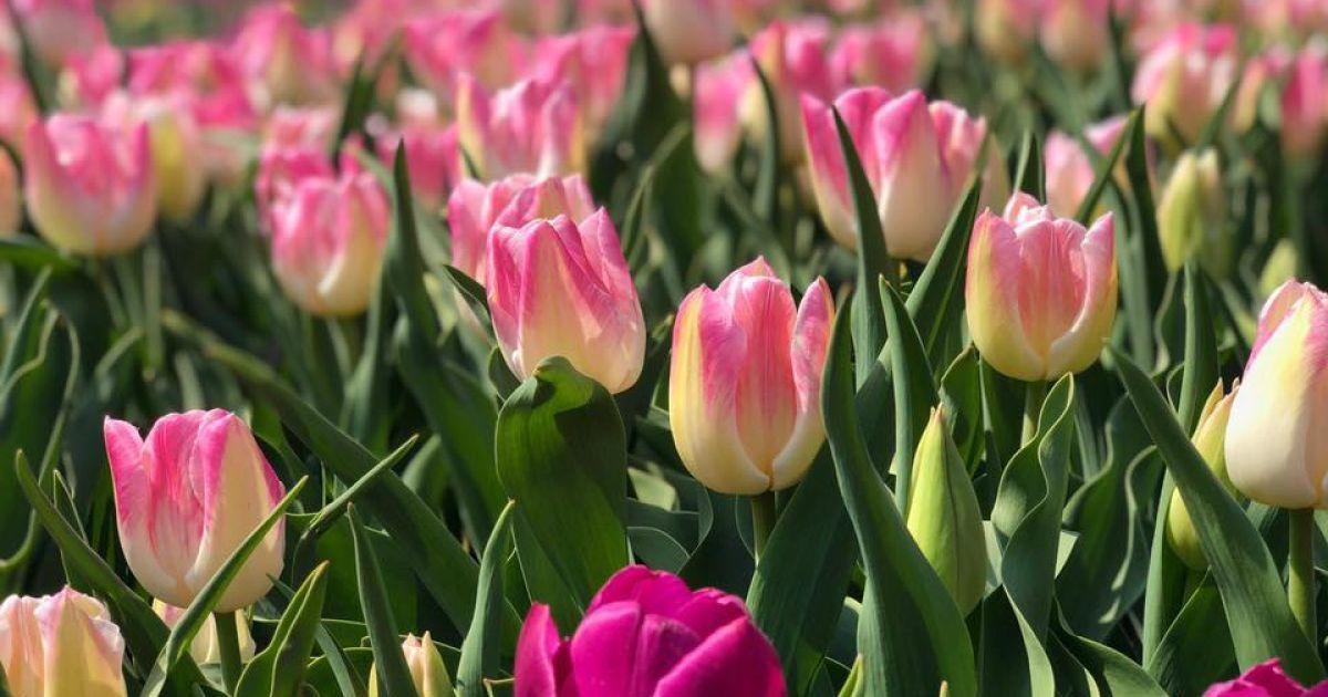 У Києві виставку тюльпанів зможуть побачити всі