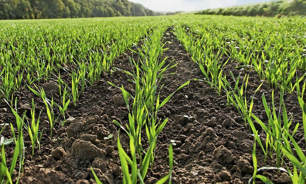 Дощі напоїли посіви, але втрат врожаю вже не уникнути