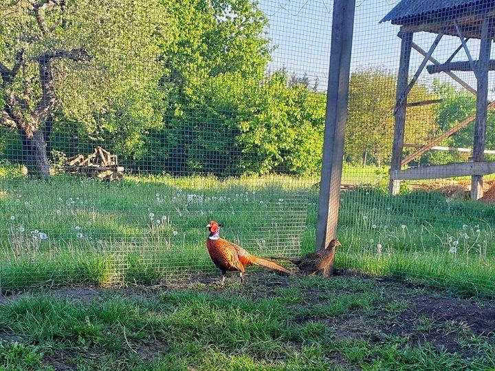 У Сокирянах успішно розводять фазанів