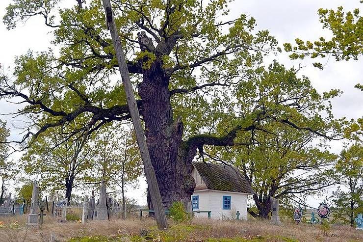 «Дуб-прадед» со своим семейным окружением — не единственная изюминка Витковичей