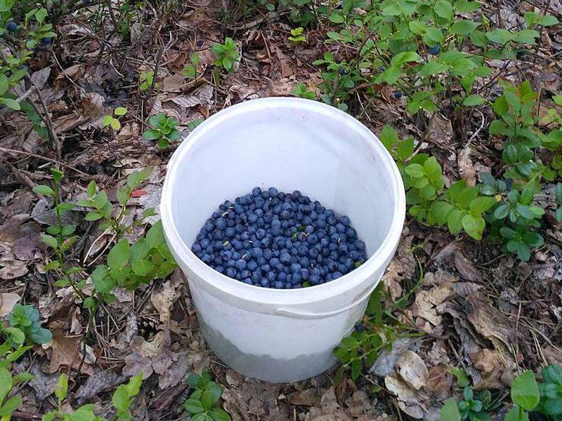 Почему стоит употреблять темно-синие ягоды черники?