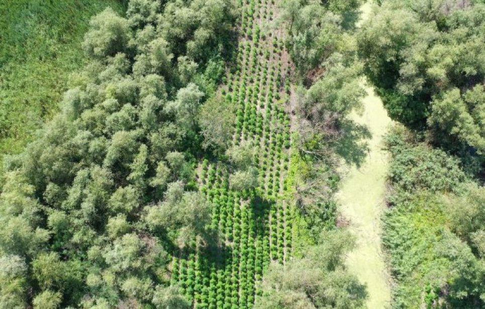 В Одесской области дрон обнаружил плантацию конопли