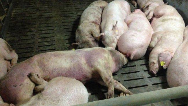 На Полтавщині виявили нове вогнище африканської чуми свиней