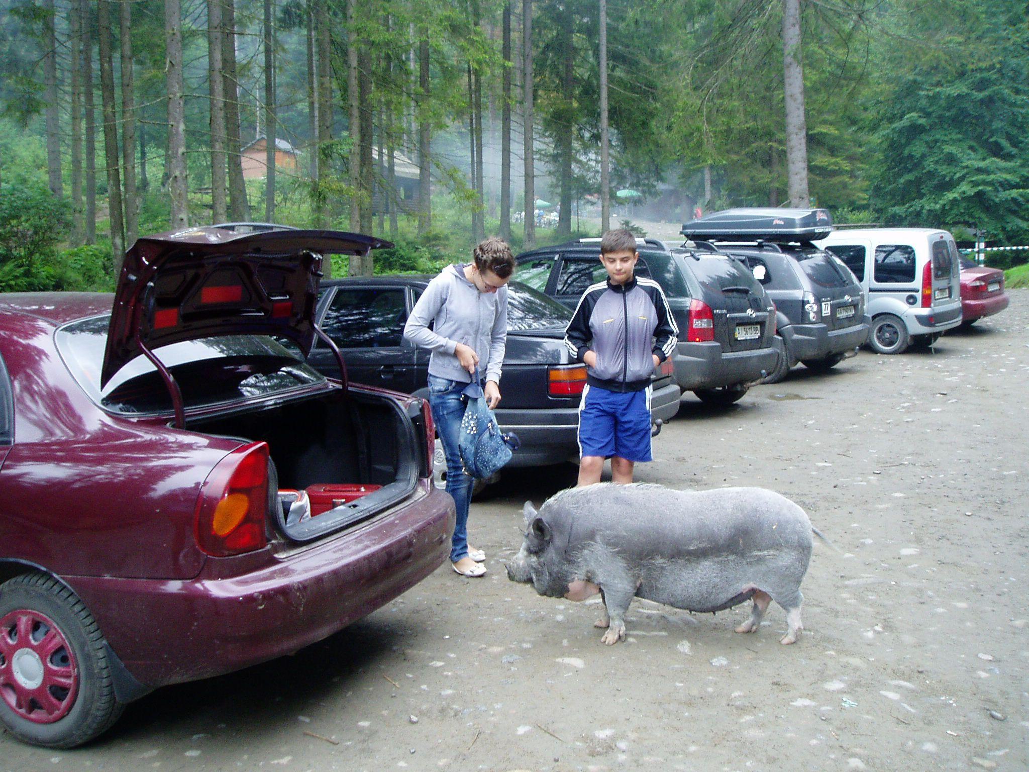 Закарпаття: Свиня — друг... мандрівника