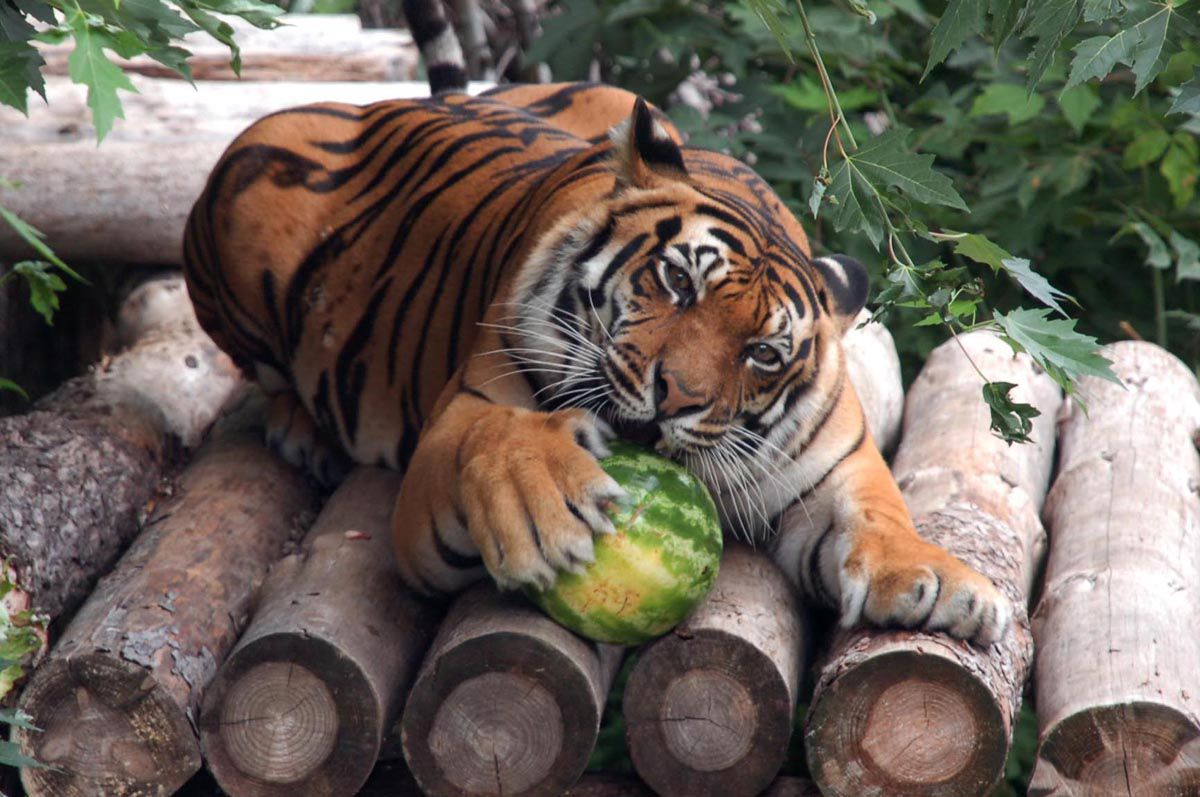 Традиційний Кавуновий тиждень триває у Київському зоопарку