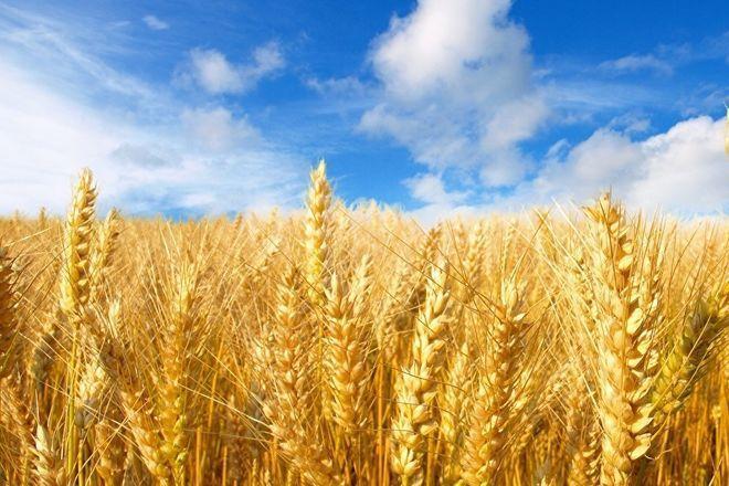 Обсяги експорту пшениці поки що не переглядатимуть