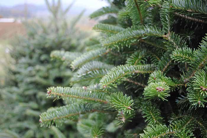 Херсон: Обещают широкий выбор елок