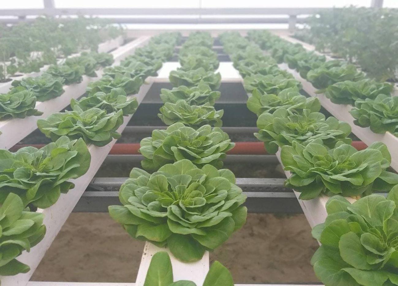 Выращивать салаты в теплицах помогает научный подход