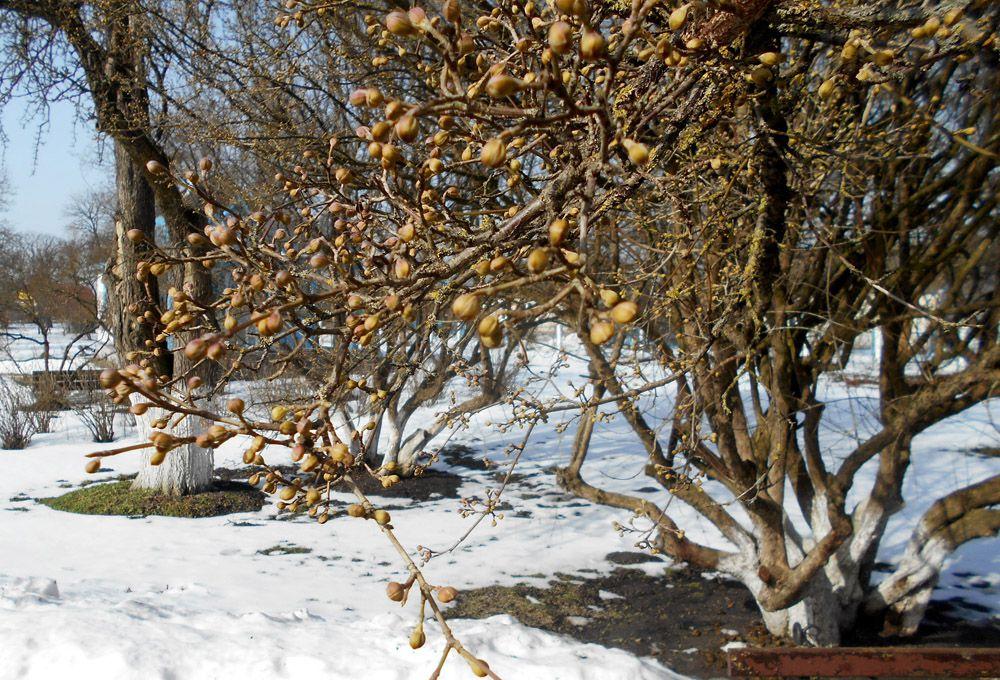 Волынь: Лесин кизил обещает щедрый урожай