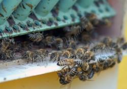 Бджоли, бджільництво