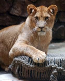 У Київському зоопарку відбулося свято, присвячене дню народження чотирьох левенят, які минулого року приїхали із Калінінградського зоопарку.