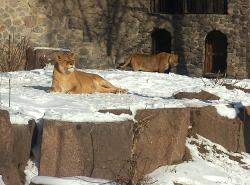 В Киевском зоопарке свой девятый день рождения праздновал львиный прайд.